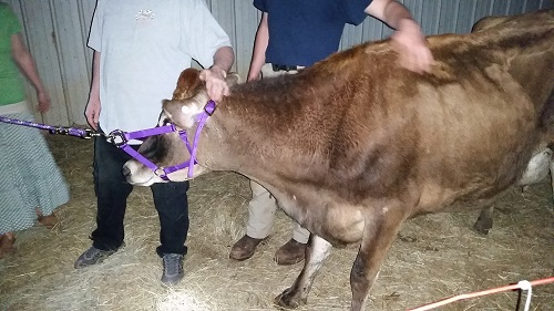 Peaches the Cow